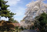 白金の桜 - オートクチュールの旅日記