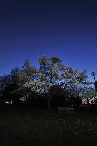 第11候桜の花咲き始める - Wind Tribe Story