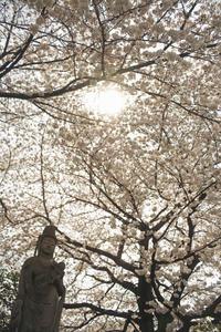 谷根千のサクラ満開日和と巨木の楠 - meの写真はザンス