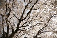 天を覆い尽くすサクラの枝たち@谷根千 - meの写真はザンス