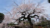 佐野美術館のしだれ桜 - ニット美津江・ダイアリー