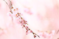 桜色の季節 - 色音あそび