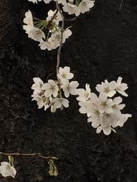 桜 - BEAUTIFUL THING