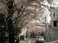さくら・サクラ・桜鎌倉桜ドライブ - NPHPブログ版