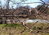 四季桜、開花 - 金沢犀川温泉 川端の湯宿「滝亭」BLOG