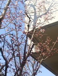 桜開花 - 楽しみな日々~福井市橘曙覧記念文学館ブログ~