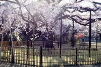 ソフトフォーカスな桜 - 月に叢雲 花に嵐