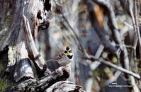 ミヤマホオジロ(深山頬白) - azure 自然散策 ~自然・季節・野鳥~