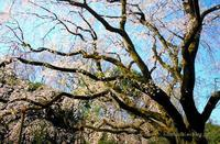 東京の桜六義園 - 暮らしを紡ぐ