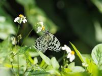オオゴマダラ - 風の翅