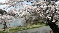 東金・八鶴湖の桜が満開に - 東金、折々の風景