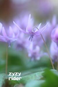 カタクリの花(その1) - ジージーライダーの自然彩彩