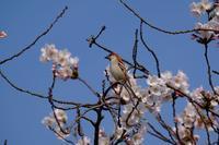 入内雀と桜 - 身近な動物・植物