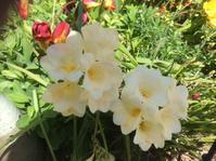 我が庭も春です - お転婆シニアのガーデニング、旅、ロードバイク、たまの料理