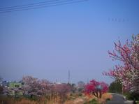 桜と桃が一緒に咲いちゃう。 - Photo*Today & Then