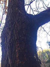 里山の雑木林でのオオクワを求めて 下見散策  台場クヌギは…   part2  with  morisukeさん - Kuwashinブログ