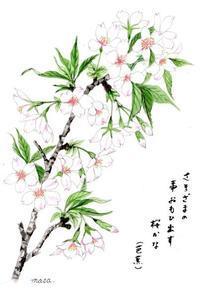 桜咲きました。 - がちゃぴん秀子の日記