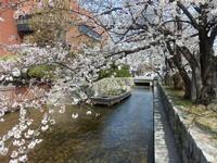 今日の京都は花見日和。 -  「幾一里のブログ」 京都から ・・・