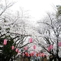 桜、満開 - HAPPY to ...