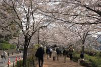 都心桜散歩千鳥ヶ淵 - Granpa ToshiのEOS的写真生活