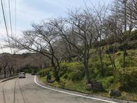 【長崎 立山公園】桜の名所 見頃ピーク - 煩々(ぼんぼん)
