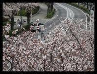木瓜の花と桜 - ひだまり●●●陽のあたる場所みつけました