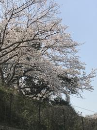 さくら・サクラ・桜ー3 - NPHPブログ版