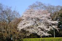 桜満開に。博物館前の桜など。 - ぶらり散歩 ~四季折々フォト日記~
