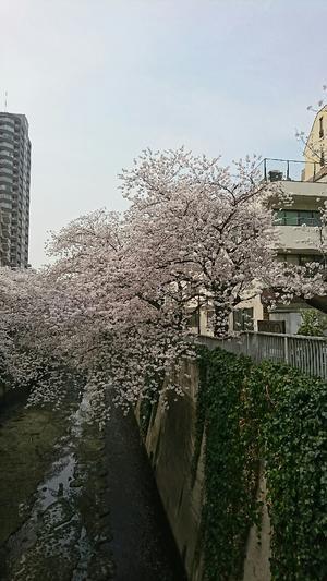 いやいや桜祭りです神... - くじらのおうち