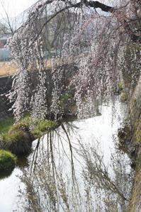 枝垂桜 - (=^・^=)の部屋 写真館