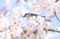ニュウナイスズメのお花見♪ - happy-cafe*vol.2