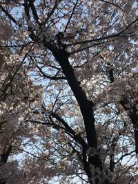 桜 - ダックと隊長
