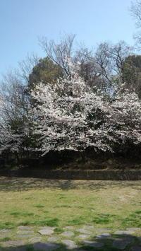 桜のようす - (まめ)たぬきの雑記