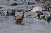 暑い日は水を飲みたいヒレンジャクキレンジャク - 鳥さんと遊ぼう