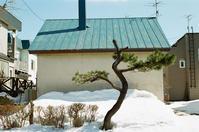 松の木と国会証人喚問の茶番 - 照片画廊
