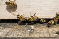 ミツバチヘギイタダニの恐怖 - 良え畝のブログ