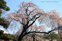 東京の桜小石川後楽園 - 暮らしを紡ぐ