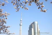 東京の桜隅田川とスカイツリー - 暮らしを紡ぐ