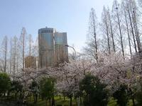 ソメイヨシノ満開、大阪で観測史上最速 - y's 通信 ~季節を彩る風物詩~