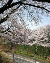 桜 - とちのみ日記