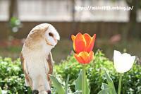 チューリップが咲いたので♪ - メンフクロウと一緒~ミリン~