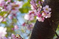 ご近所の桜*Ⅰ - It's only photo