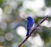 未だ間に合ったルリビタキ・・・ - 一期一会の野鳥たち