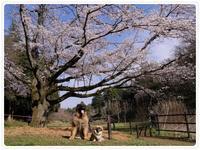 桜の樹の下で - 「レオンベルガー雑記帳」時々 べったんち