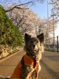 はっぴばーすで! - 琉球犬mix白トゥラーのピカ