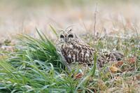 コミミズク Ⅴ 草地で休憩 - 気まぐれ野鳥写真