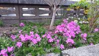 シバザクラが開花 - 世に万葉の花が咲くなり
