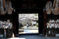 尾道桜めぐり - 寅年生まれ