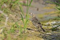 Red-throated Pipit - AVES