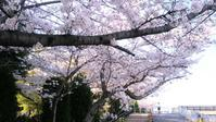桜満開 - ルンルンのルン